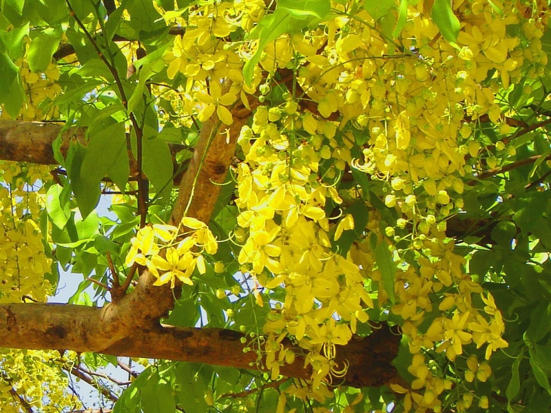 Cassia-fistula-Golden-Shower-Tree-03.jpg